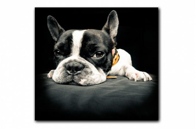 tableau animaux chien bulldog relax 60x60 cm tableaux animaux pas cher. Black Bedroom Furniture Sets. Home Design Ideas