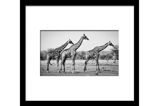 tableau image encadree girafes 50x60 tableau animaux pas cher. Black Bedroom Furniture Sets. Home Design Ideas