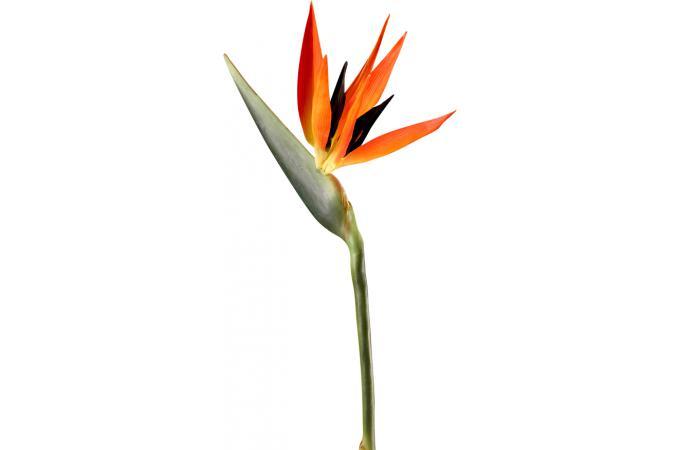Objet declikdeco tritoo - Plante oiseau de paradis ...